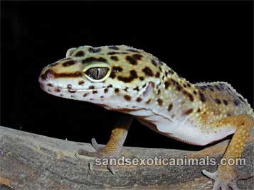 how to draw a leopard gecko step by step